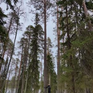 Karoliina Koivukangas: Mies ja mänty
